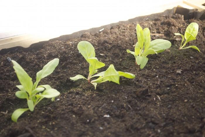 Dyrk dine egne økologiske grønnsaker