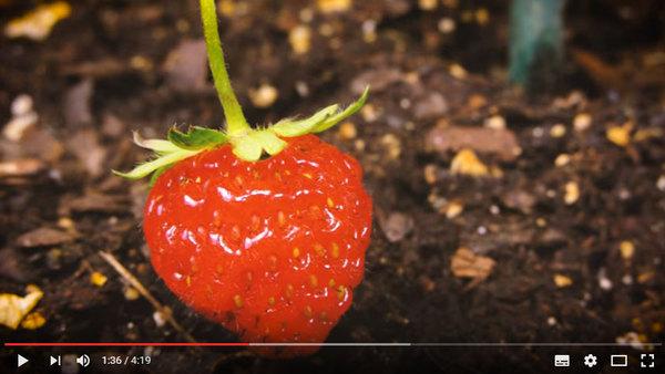 jordbærene som er uten gift
